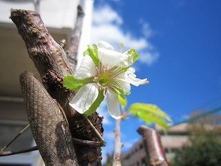 狂い咲き.jpg